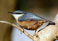 Any Nuts Need Hatching? (Ger Bosma) Tags: nuthatch sittaeuropaea boomklever kleiber trepadorazul sittelletorchepot picchiomuratore mygearandme mygearandmepremium rememberthatmomentlevel1 rememberthatmomentlevel2 img76576afiltered