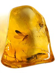 Baltic amber (40-50 MYO) - whit an iconic and absolut perfect Biting midge (Ceratopogonidae) (leth.damgaard) Tags: macro beautiful closeup bug insect poster fossil amber ancient perfect raw pics postcard picture insects baltic bugs postcards buy mineral biology insekt rare bursztyn jantar description extinct anders midges raf fossils eocene bernstein ambre midge arthropod biologia rav diptera mbar inclusion leth gintaras insekter  dzintars barnsteen fossilised bitingmidge  borostyn millimetre inklusion damgaard amberinclusions merevaik ceratopogonidae meripihka  amberinsect amberfossil succinicacid  wwwamberinclusionsdk  andersdamgaard sjlden
