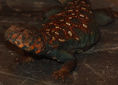 Ocellated Uromastyx male (orlando c) Tags: ocellated uromastyx