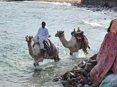 Ride the waves (Kumukulanui) Tags: dahab redsea egypt dromedary camel sinai camelride sinaipeninsula arabiancamel