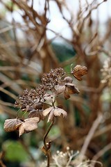 Hydrangea (Beppenob (OFF ... not always)) Tags: flower macro dry hydrangea fiore ortensia secco 550d