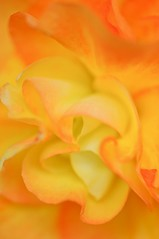 Rose Of Winter (Anna Kwa) Tags: flowers orange macro art nature marina singapore camelliajaponica flowerdome japanesecamellia roseofwinter gardenbythebay