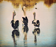 The 3 of us (PhotoArt Images) Tags: pelicans bigma sigma50500mm nikon2470mm28 photoartimages