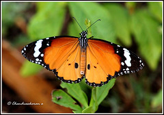 2858 - plain tiger (chandrasekaran a 560k + views .Thanks to visits) Tags: india nature butterfly insects chennai plaintiger tamron200500mm canon60d blinkagain