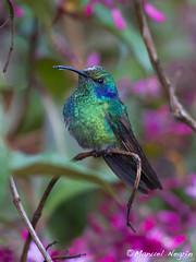 Colibri thalassinus (Manelo54) Tags: hummingbirds canon100400 colibri sangerardodedota costaricabirds canoneos7d
