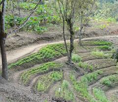 Siembra (La esperanza de mi país) (Jardin Boricua) Tags: cosecha finca terreno siembra sembrado recao yautia cilantrillo yautía