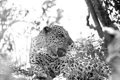 The dominant male (MD Ghatan) Tags: africa leopard botswana flickrbigcats vumbu