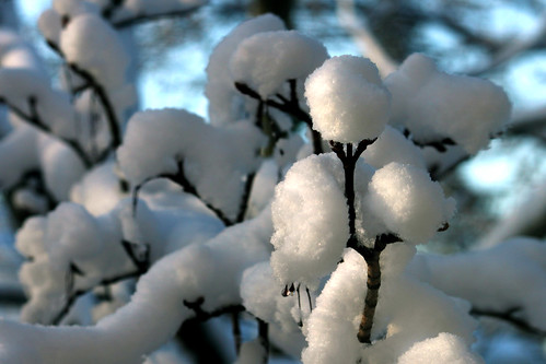Cotton Snow _5564