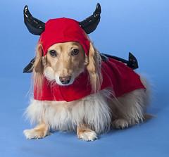 Devil Dog (Doxieone) Tags: red dog black halloween miniature costume nikon horns dachshund wiener demon devil softbox dressed sb80dx doxie longhaired sb800 d90 strobist yongnuo fixset