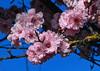 In Like A Lamb ! (outdoorPDK) Tags: floweringplum