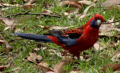 Sublime Point Lookout Bulli Pass. Crimson Rosella (pat.bluey) Tags: blue red black mountains leaves ngc australia newsouthwales 1001nights crimsonrosella bullipass 1001nightsmagiccity natureskingdom