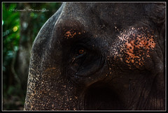 Nature's great masterpiece, an elephant; the only harmless great thing....! (Mysmile Photography) Tags: india elephant kerala kochi thekkady photographyforrecreation