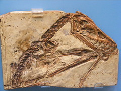 Scaphognathus (subhumanfreaks) Tags: europe jurassic extinct pterosaur