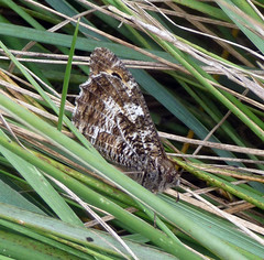Grayling. Hipparchia semele (gailhampshire) Tags: grayling hipparchia semele