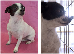 Miss Piggy the 2 Year Old Mom (Immature Animals) Tags: arizona rescue dog baby white chihuahua black cute animal mom mix eyes tucson adorable az pima chi bark bulge bulgy koalition pacc barktucson wwwimmatureanimalscom backpacc