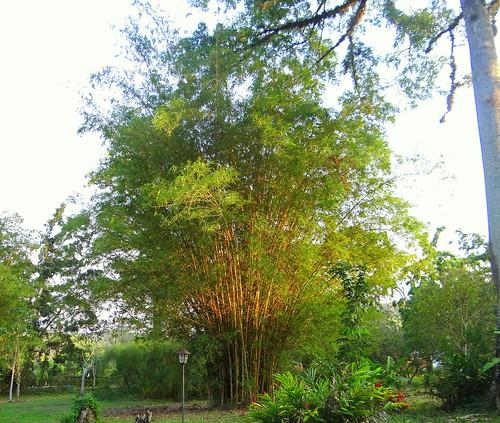 tree southamerica arbol venezuela bambú marcaribe caribbeansea barlovento suramérica goldenbamboo neotropic phyllostachysaurea northernsouthamerica neotrópico nortedesuramérica bambúdorado