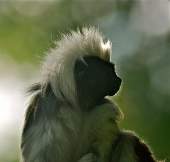 The Dark Knight Rises (Anna Kwa) Tags: nature singapore primates cottontoptamarin saguinusoedipus smallnewworldmonkey