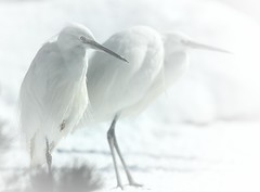 Aigrette. (aracobis) Tags: france nature zoo neige bec fragile lorraine blanc oiseaux moselle animalier sigma100300f4 canoneos7d parczoologiquedamnéville