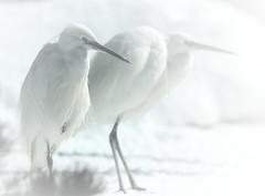 Aigrette. (aracobis) Tags: france nature zoo neige bec fragile lorraine blanc oiseaux moselle animalier sigma100300f4 canoneos7d parczoologiquedamnville