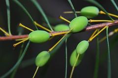Persoonia virgata (andreas lambrianides) Tags: macro wildflower australiannativeplant proteaceae australianflora persoonia virgata persooniavirgata