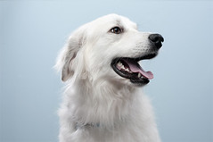 Dog Portrait (Buccianti) Tags: portrait dog pet white cute animal tongue puppy fur nose eyes furry nikon shiny hound adorable ears canine whiskers floppy sit trained obedient d300s