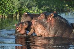 Hippo Baby (MyKeyC) Tags: africa tanzania hippo todd hippopotamus motherandbaby nilehippopotamus specanimal aaacoltanzania