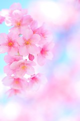 Happy Time / Cherry Blossoms (*Sakura*) Tags: pink blue sky flower macro nature japan tokyo spring  sakura cherryblossoms