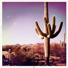 Saguaro (K e v i n) Tags: arizona southwest nature cacti outside outdoors desert az noflash squareformat dirtroad sonorandesert saguaros marana southernarizona southernaz tortolitas tortolitamountains johnslens hipstamatic alfredinfraredfilm
