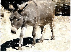 Seht heut an, wie der Messias Christus auf einem Esel sa (amras_de) Tags: ezel donkey asno esel palmsunday domingoderamos palmsonntag ase magar asto osel asal esek equusasinus sna asni palmzondag domenicadellepalme palmesndag palmusunnuntai osiol aasi niedzielapalmowa magarac sel eesel cuddie sceccu virgvasrnap cvjetnica diumengederams dimanchedesrameaux azeno plmasunnudagur iesel hziszamr palmesundag duminicafloriilor equusafricanusasinus dominicainpalmisdepassionedomini majasezelis oseldomc domacimagarac laukinisasilas afrikanskvillesel somrdomci kvetnnedele palmofesto erramuigandea domhnachnapailme verbusekmadienis pupolusvetdiena paumsunday kvetnnedela cvetnanedelja palmsndagen