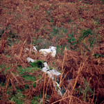 "A Sheep Lost in Autumn Ferns <a style=""margin-left:10px; font-size:0.8em;"" href=""http://www.flickr.com/photos/89335711@N00/8595633205/"" target=""_blank"">@flickr</a>"