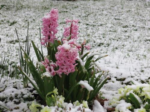 jacinthes sous la neige de pâques
