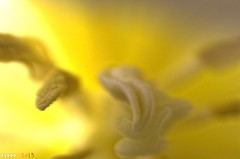 Smooth Yellow (fs999) Tags: flower detail macro fleur paintshop pentax tubes da tulip paintshoppro 40 extension 40mm xs blume makro k5 highiso tulipe corel 400iso tulpe bloem detail3 aficionados 21mm pentaxist da40 artcafe 31mm danubia denoise masterphotos topazlabs pentaxian elitephotography pkar ashotadayorso macrolife justpentax topqualityimage zinzins flickrlovers topqualityimageonly fs999 fschneider pentaxart pentaxk5 denoise5 da40xs pentaxda40mmf28xs x5ultimate paintshopprox5ultimate
