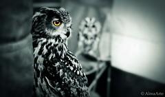light of your eyes (AlmaArte Photography) Tags: england blackandwhite blancoynegro animal manchester photography eyes photographer ojos ave owl mirada gaze buho 133b almaarte almaarteii