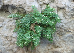 Brittlestem (Patrick Dockens) Tags: usa unitedstates hiking maricopacounty userymountainpark windcavetrail brittlestem scrophularaceae mabyraacerifolia mabyra