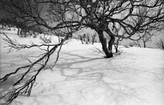 Mountain trees (threepinner) Tags: snow tree spring kodak cosina 28mm birch hq microfilm f35 hidaka pentaxm  imagelink  mountainsnaps ct1ex mtsoushubetsu