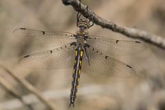 dot-winged baskettail (explored 4/3/2013) (robert salinas) Tags: dragonflies odonata