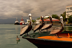 Family portrait ✿ Portrait de famille ✿ 1 of 2 (Chizuka2010) Tags: cruise vacation portrait birds fauna port vacances cruising overcast pelican portraiture nuages familyportrait m4 cloudysky oiseaux omd guadeloupe faune pelecanusoccidentalis pélican pointeàpitre 1250mm cielnuageux portraitdefamille photographieanimalière microfourthird olympusem5 olympusomdem5 omdem5 chizuka2010 luciegagnon