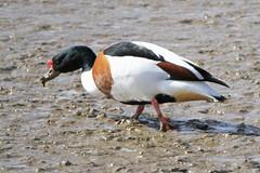 Shelduck (Dartmoor Mike) Tags: bird birds duck ducks quay devon fremington shelduck
