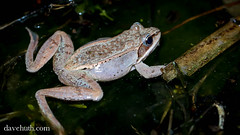 Wood Frog (Rana sylvatica) - pale coloration (DaveHuth) Tags: ny amphibian frog houghton animalia vernalpool anura amphibia ranidae woodfrog chordata ranasylvatica athleticfield lithobates taxonomy:class=amphibia taxonomy:order=anura taxonomy:family=ranidae taxonomy:kingdom=animalia taxonomy:phylum=chordata lithobatessylvaticus taxonomy:species=sylvaticus taxonomy:binomial=ranasylvatica taxonomy:binomial=lithobatessylvaticus taxonomy:genus=lithobates taxonomy:common=woodfrog