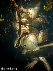 Wood Frogs (Rana sylvatica) in amplexus - underwater in vernal pool (DaveHuth) Tags: ny underwater amphibian breeding houghton animalia anura amphibia ranidae woodfrog chordata ranasylvatica amplexus lithobates taxonomy:class=amphibia taxonomy:order=anura taxonomy:family=ranidae taxonomy:kingdom=animalia taxonomy:phylum=chordata lithobatessylvaticus taxonomy:species=sylvaticus taxonomy:binomial=lithobatessylvaticus taxonomy:genus=lithobates taxonomy:common=woodfrog gaertepond