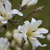 Magnolia stellata (Irene Grassi (sun sand & sea)) Tags: flowers verde green nature insects natura vert magnolia fiori insetti magnoliastellata magnoliaceae hennysgardens