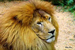 O Leo (Rohdrygo) Tags: park parque brazil nature animal rio brasil canon zoo grande do king place natureza kittens natura shutter kitties brazilian lon t3 animais eco rei riograndedosul lugar brasile sul leo exposio zoologico sapucaia obturador
