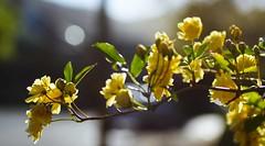 Flower Branch, Ukiah (Explore)