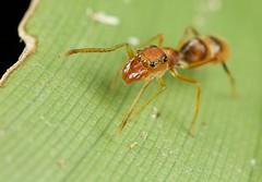 Ant mimicking jumping spider (Myrmarachne sp.) (pbertner) Tags: macro paul nationalpark rainforest costarica corcovado biodiversity osapeninsula laamistad 5dmarkii bertner pbertner pbertnerwordpresscom