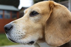 """""""One is not interested"""" (Taken-By-Me) Tags: dog pet beagle animal nose hound ears takenbyme bitch ebony"""