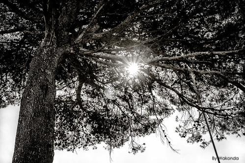 Sun in the tree.
