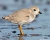 Hello plover (v4vodka) Tags: bird nature animal wildlife birding longisland birdwatching plover pipingplover charadriusmelodus westmeadowbeach pipingploverchick sieweczka siewka