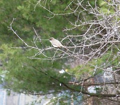 "Eastern Phoebe ""Bombs Away!"" (tapaculo99 - http://www.ipernity.com/home/288937) Tags: birds vermont aves phoebe easternphoebe pooping flycatcher sayornisphoebe"