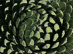 Green & White Succulent / Agave Victoria reginae (1000 Words Gallery) Tags: california blue red plant abstract green slr texture nature digital canon campus photography eos rebel photo leaf succulent pattern outdoor arboretum foliage digitalcamera agave southerncalifornia orangecounty oc fullerton rosette digitalslr perennial csuf t3i fullertonarboretum 1000words fullertoncalifornia heritagehouse queenvictoriaagave organicpattern agavevictoriareginae csufcampus calstateuniversityfullerton canon600d 1000wordsphotography greenandwhitesucculent canont3i eoskissx5 drgeorgecrookclark 1000wordsgallery ralphevelasco greenwhitesucculent succulentrosette