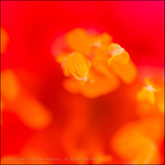Extreme Stamen (*ian*) Tags: pink red flower macro nature yellow closeup square spring bush flora pistil petal stamen bloom pollen camellia shrub favourite stigma springtime anther bigemrg